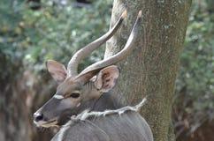 Nyala mâle près de tree3 Photo libre de droits