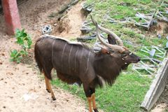 Nyala. He nyala is mainly active in the early morning and the late afternoon. It generally browses during the day if temperatures are 20–30 °C (68–86 °F) Stock Images