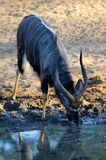 Nyala male Royalty Free Stock Photos