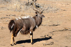 Nyala male. Standing in the scrubland Stock Photo