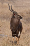 Nyala male Royalty Free Stock Photo