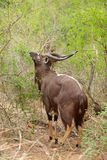 Nyala Male Royalty Free Stock Images