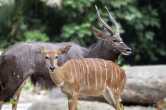 Nyala Male and Female Pair Stock Photography