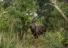 Nyala male in the woodland of the Hluhluwe iMfolozi Park stock photography