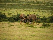 Nyala Males fighting Stock Images