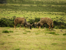 Nyala Males jousting. A view of a pair of Nyala males jousting in the African bush Stock Image