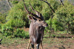 Nyala masculin dans le paysage africain Images libres de droits