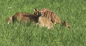 Nyala in meadow Royalty Free Stock Photos
