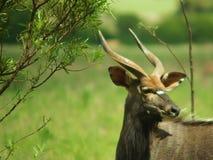 Nyala mit Fliegen Lizenzfreie Stockfotografie