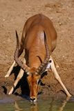 Nyala Ram. Drinking in Mkuze Nature Reserve, South Africa Stock Photo
