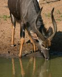 Nyala Ram. Drinking in Mkuze Game Reserve, South Africa royalty free stock images