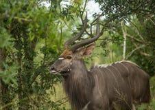Nyala samiec w lesie Hluhluwe iMfolozi park fotografia stock