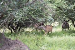Africa nyala on safari. Nyala in south africa in safari nature park Royalty Free Stock Photos