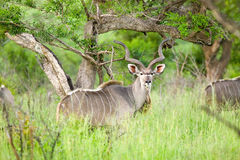 Nyala, także nazwany Bushbuck w Umfolozi gry rezerwie, Południowa Afryka, ustanawiający w 1897 Obrazy Royalty Free
