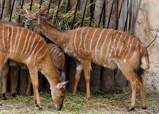 Nyala ή Tragelaphus Angasii Στοκ Εικόνες