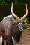 Nyala (Tragelaphus angasii) Stock Photos