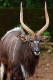 Nyala (Tragelaphus angasii) Stockfotos