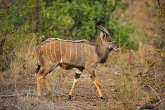 Nyala (Tragelaphus angasii) Royalty Free Stock Photography