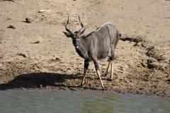 Nyala, Tragelaphus-angasii Stock Foto's