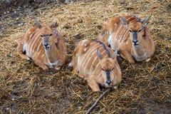 Nyala Tragelaphus angasii Stock Photo