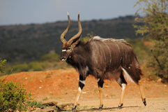Nyala (Tragelaphus angasii) byk Zdjęcie Stock