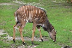 Nyala Tragelaphus angasii. Stock Images