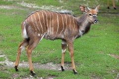 Nyala Tragelaphus angasii. Stock Photo