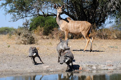 Nyala and warthogs Stock Images