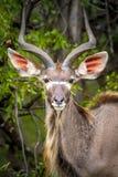 Nyalaantilop, Kruger nationalpark, Sydafrika Arkivbild