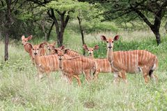Nyalaantilopen, Südafrika Lizenzfreies Stockfoto