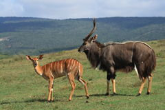 Nyalas. Royalty Free Stock Image