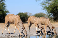 Nyalas drinking Royalty Free Stock Photography