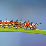Nyanserad Fritillary Caterpillar Arkivbilder
