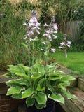 Nyanserad Hosta i blom Fotografering för Bildbyråer