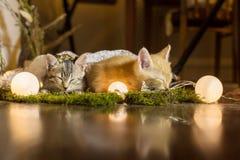 Nyanserad och röd kattungekel royaltyfri foto