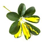 Nyanserade guling- och gräsplansidor av den dvärg- paraplyväxten Schef royaltyfri bild