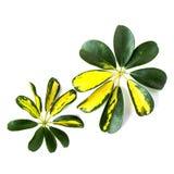 Nyanserade guling- och gräsplansidor av den dvärg- paraplyväxten Schef royaltyfria bilder