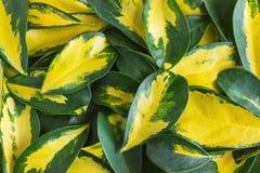 Nyanserade guling- och gräsplansidor av den dvärg- paraplyväxten Schef arkivfoto