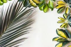 Nyanserade guling- och gräsplansidor av den dvärg- paraplyväxten Schef arkivbilder