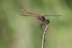 Nyanserade Meadowhawk Arkivbild