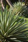 nyanserat karibiskt för agave Royaltyfri Fotografi