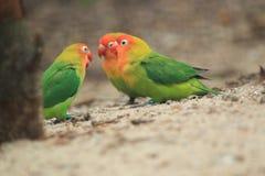 Nyasa lovebird Stock Photography