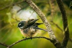 Nyazeeländsk Fantail Arkivfoto