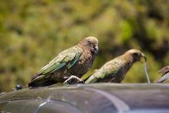 Nyazeeländsk Kea papegojaställning på bilen Royaltyfri Foto