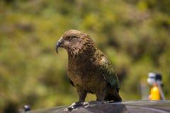 Nyazeeländsk Kea papegojaställning på bilen Royaltyfri Fotografi