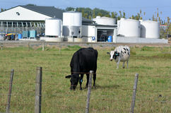 Nyazeeländsk mejeriindustri Fotografering för Bildbyråer