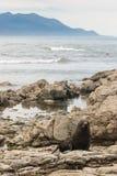 Nyazeeländsk pälsskyddsremsa på stenig kust i Kaikoura Fotografering för Bildbyråer
