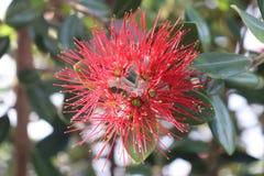 Nyazeeländsk röd blomma Fotografering för Bildbyråer