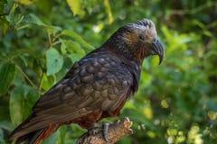 Nyazeeländska fjädrar för vapen för Kaka bruntpapegoja royaltyfria foton