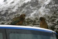 Nyazeeländska Kea, frågvisa infödda fåglar som sitter på en lagledare Royaltyfri Bild